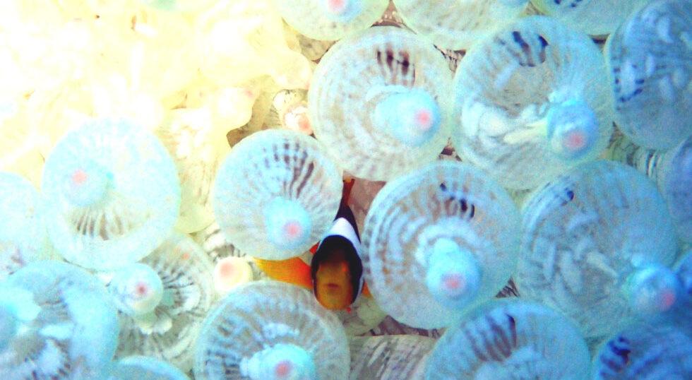 カラカラ先生ダイビング 本ドロップ クマノミ幼魚