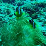 カラカラ先生ダイビング 中の島 クマノミ