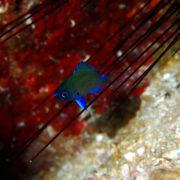 カラカラ先生ダイビング 中の島チャネル アマミスズメダイ幼魚