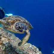 カラカラ先生ダイビング  アオウミガメ 食事中