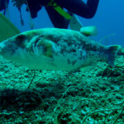 カラカラ先生ダイビング 巨大サザナミフグ