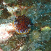 カラカラ先生ダイビング サバ沖 モザイクウミウシ