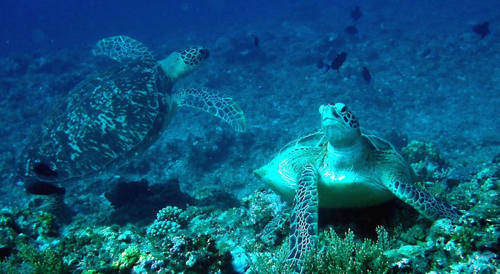 カラカラ先生ダイビング ブルータートル アオウミガメ2匹