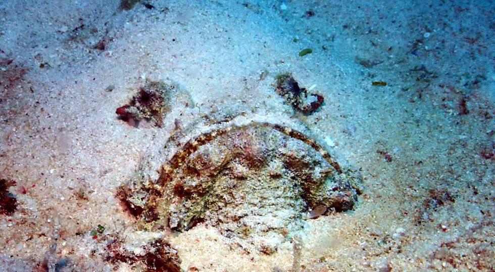 カラカラ先生ダイビング クリスタルパーク オニダルマオコゼ