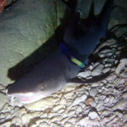 カラカラ先生ダイビング 中の島チャネル ネムリブカ