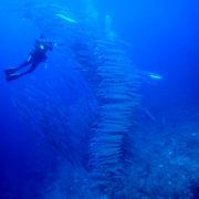 カラカラ先生ダイビング 中の島 ホソカマス群れ