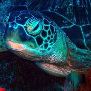 カラカラ先生ダイビング パナタ アオウミガメ